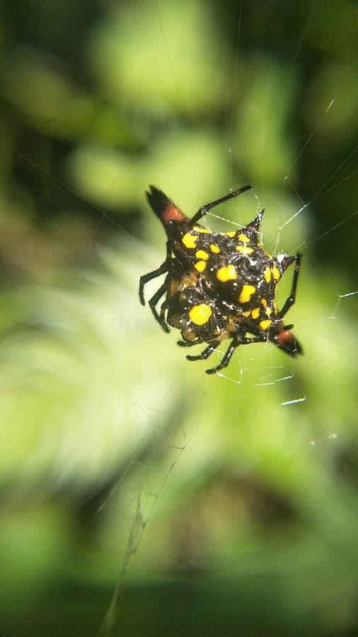 mały pająk obraz royalty free