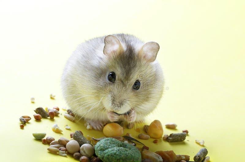 Mały, pasiasty chomik, je suchego jedzenie na żółtym tle zdjęcia stock
