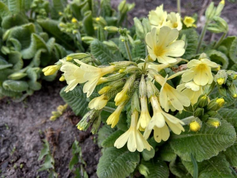 Mały piękny kwiat, to r w wiośnie fotografia royalty free