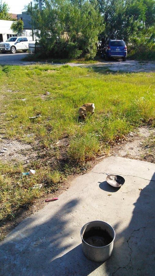 mały pies bawić się na trawie obrazy royalty free