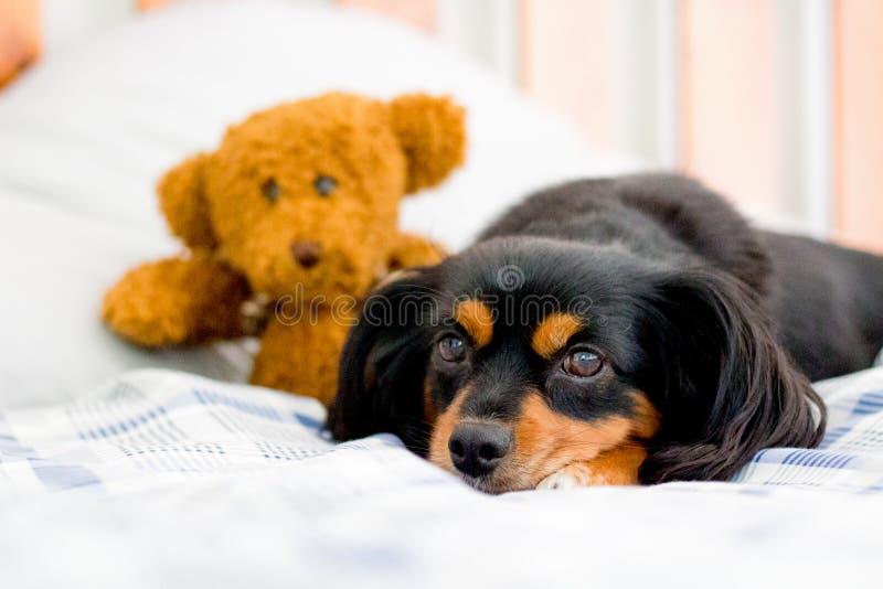 Mały pies w łóżku cuddling ślicznego brown misia zdjęcia stock