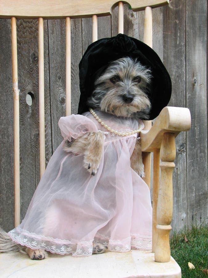 Mały pies w smokingowym kapeluszu i perłach siedzi w krześle outside obrazy royalty free
