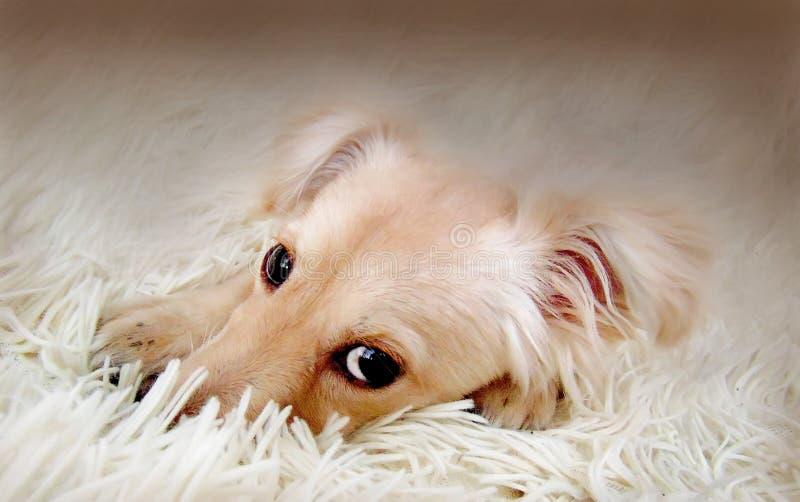 Mały pies z smutnymi oczami zdjęcie royalty free