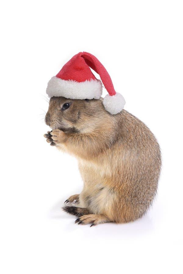 Mały preryjny pies jest ubranym czerwonego Santa Claus kapelusz zdjęcia royalty free