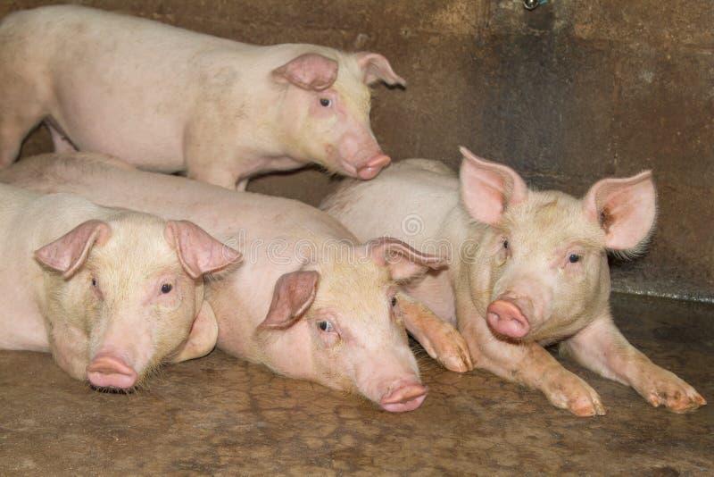Mały prosiaczek w gospodarstwie rolnym grupa ssaka czekania karma chlewnie w kramu zdjęcie royalty free