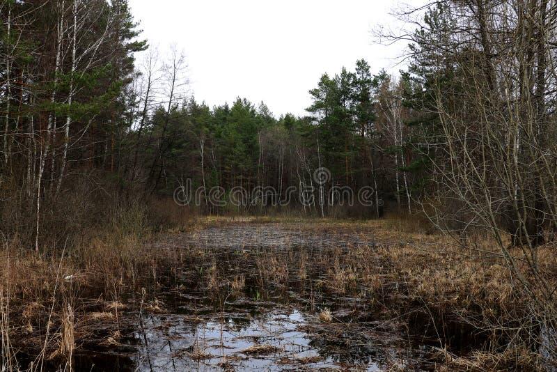 Mały przerastający jezioro w starym lesie fotografia royalty free