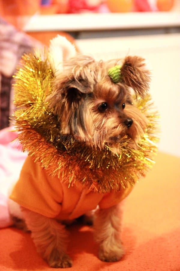 Mały psi Jork 1 i Bożenarodzeniowe dekoracje obraz royalty free