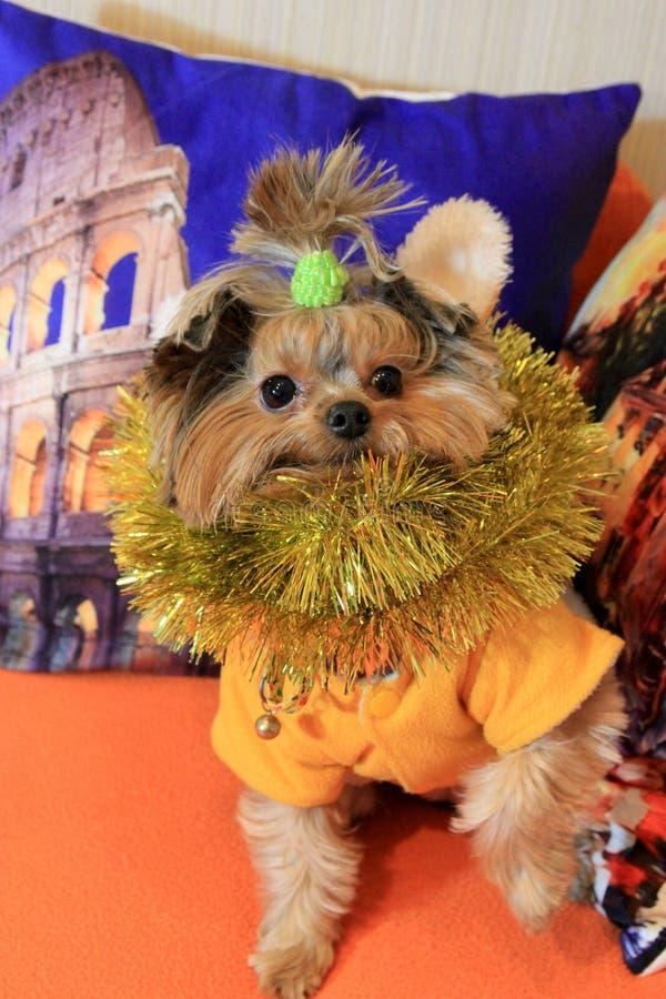 Mały psi Jork 2 i Bożenarodzeniowe dekoracje obraz stock