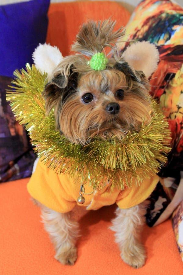 Mały psi Jork 3 i Bożenarodzeniowe dekoracje zdjęcia stock