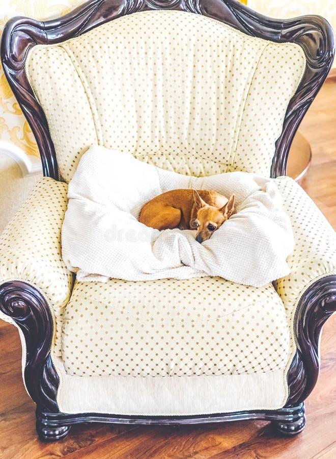 Mały psi lying on the beach na białej poduszce przy galanteryjnym krzesłem obraz royalty free