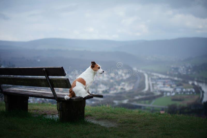 Mały psi obsiadanie na ławce w naturze Jack Russell Terrier w polach zdjęcie royalty free