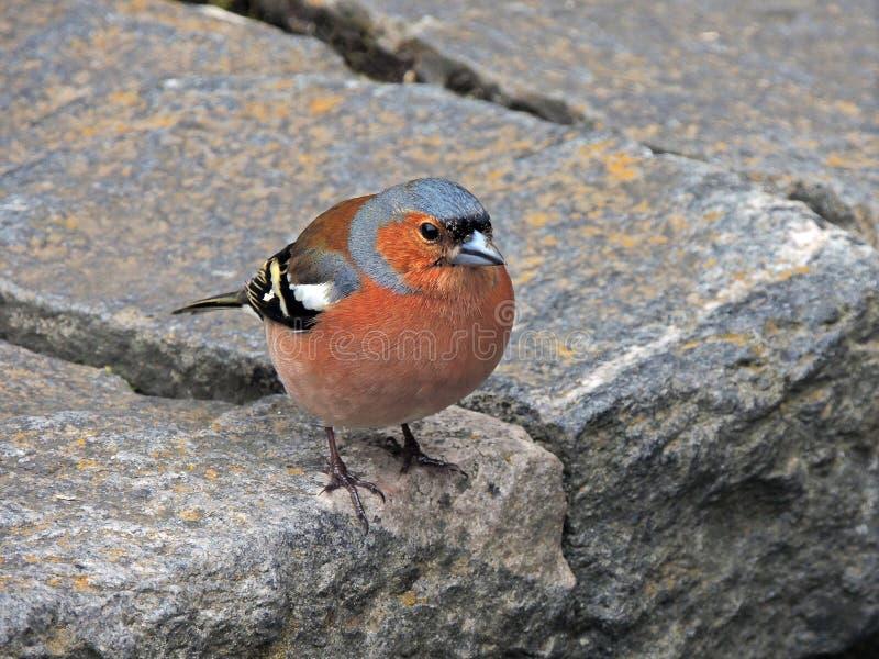 Mały Pstrobarwny Finch na Kamiennych cegiełkach obrazy stock