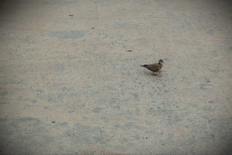 Mały ptak który chodzi na drodze zdjęcia stock