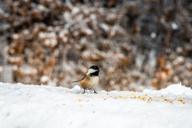 Mały ptak na śniegu jedzący ziarna zdjęcia royalty free