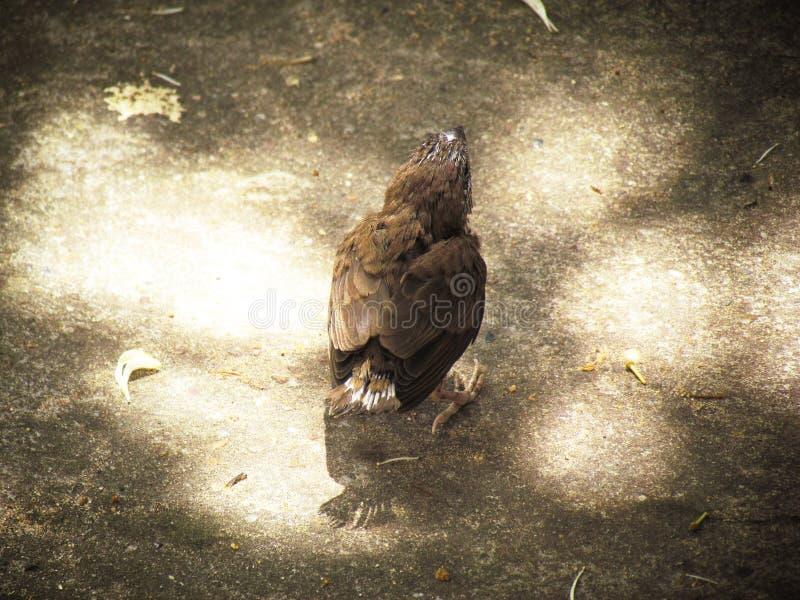Mały ptak no może latać Stać na bruku z miękkim światłem słonecznym obraz royalty free