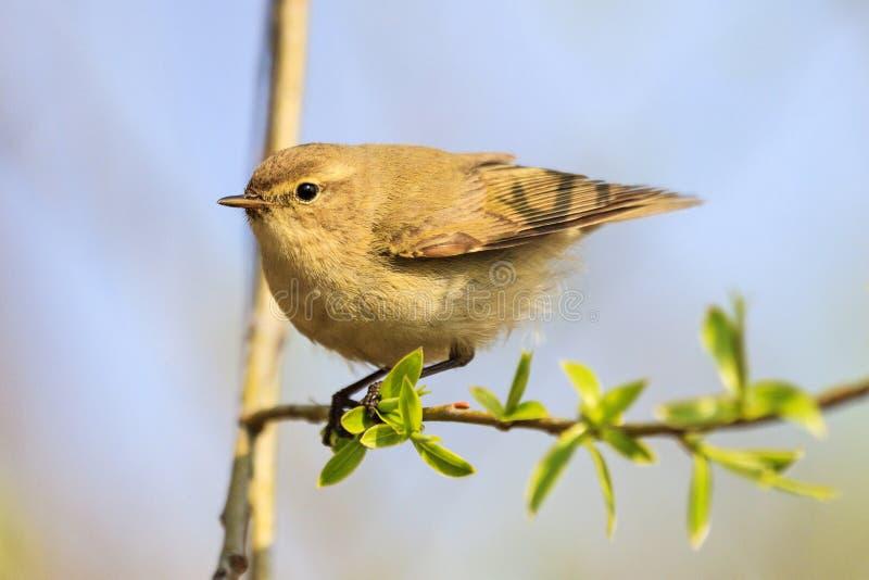 Mały ptak siedzi na cienkiej gałąź wśród wiosen zieleni zdjęcia stock