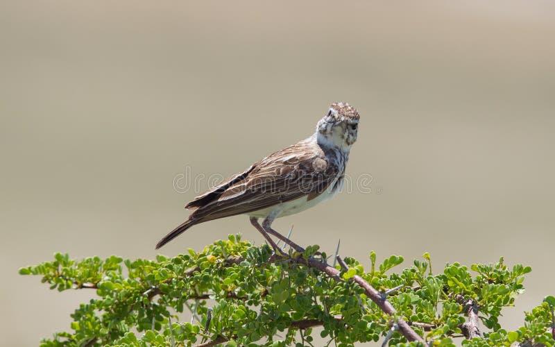 Mały ptak umieszczał na suchej gałąź w Etosha obrazy stock