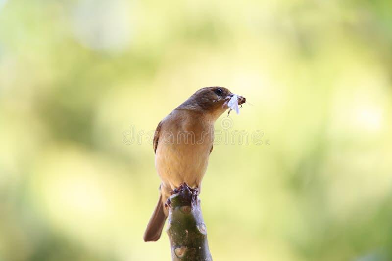 Mały ptaka cath pasikonik w belfrze fotografia royalty free