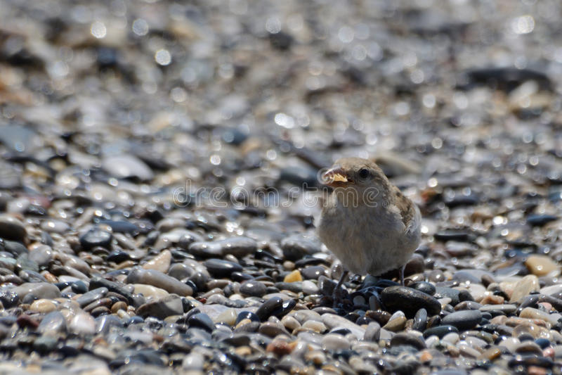 Mały ptasi łasowanie na plaży fotografia stock