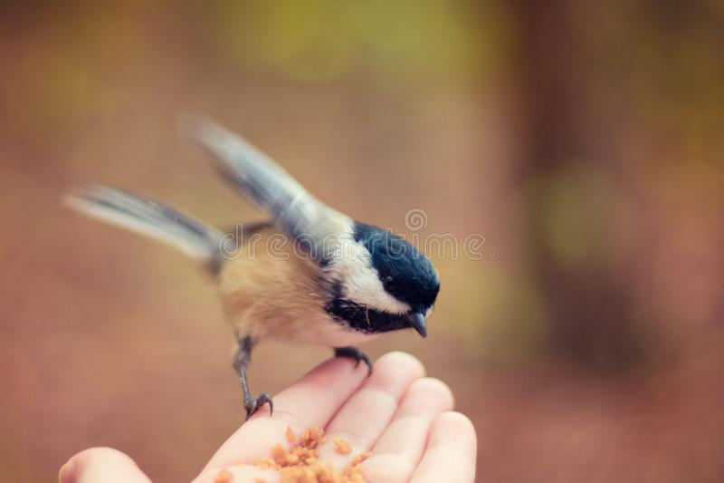 Mały ptasi obsiadanie na ręce istota ludzka i łasowań ziarna obraz royalty free