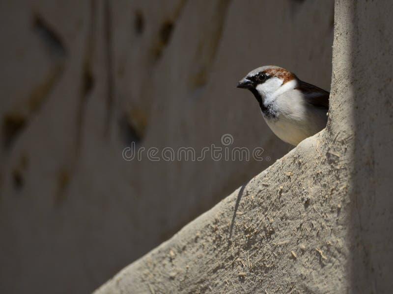 Mały ptasi przyglądający out od ściany obraz stock