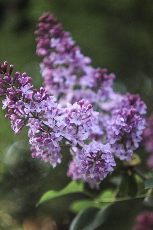 Mały purpurowy bez kwitnie z zielonymi liśćmi na ciemnego brązu zamazanym tle, obraz stock