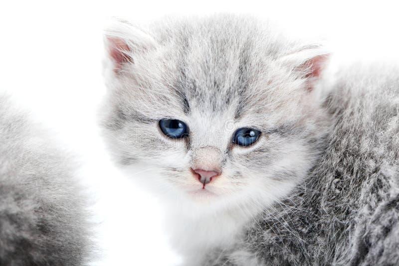 Mały puszysty błękitnooki uroczy siwieje figlarki patrzeje prosto kamera podczas gdy pozujący w białym studiu dla photoset fotografia royalty free