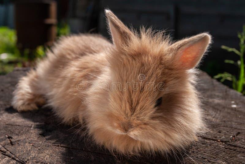 Mały puszysty gniewny czerwony królik ja ogrzewa przy światłem słonecznym zdjęcia stock