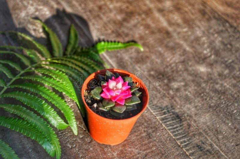Mały różowy kaktus w pomarańczowym garnku obraz royalty free