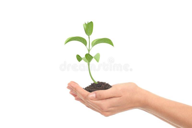 Mały roślina przyrost w kobiety rękach obraz royalty free