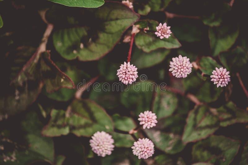 Mały round kwitnie w formie różowej piłki, siedem kawałków otaczających zielonym ulistnieniem obrazy stock