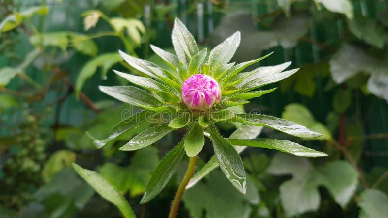 Mały round pączek asteru kwiatu zbliżenie zdjęcie stock