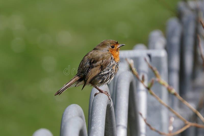 Mały rudzika ptak, Erithacus rubecula/umieszczaliśmy onm metalu ogrodzenia poręcze zdjęcia stock