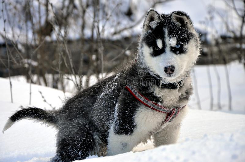 Mały siberian husky pies w śniegu zdjęcie royalty free