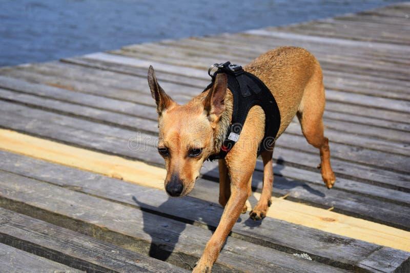 Mały smutny pies fotografia stock