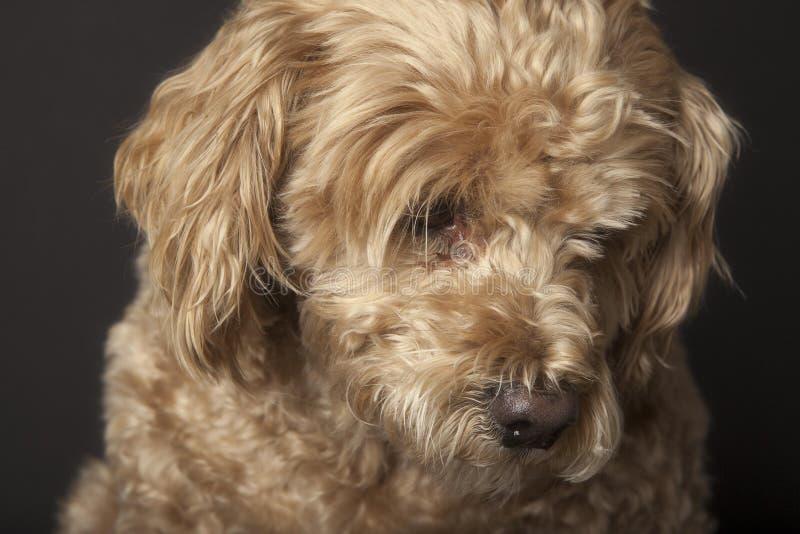 Mały smutny złoty pies zdjęcie royalty free
