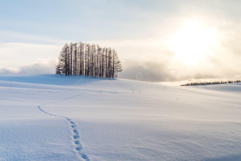 Mały sosnowy las pod zmierzchem i nożny krok na bielu shinny śnieg obraz royalty free