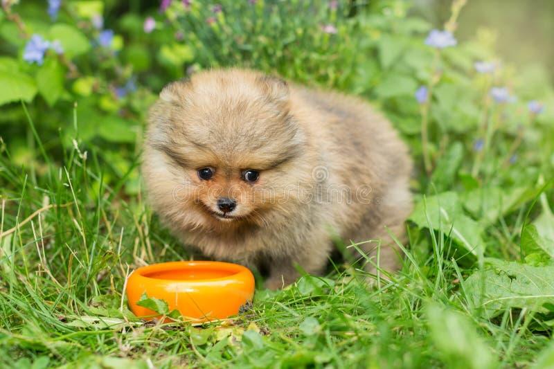 Mały Spitz szczeniak je z pomarańczowym pucharem zdjęcie royalty free