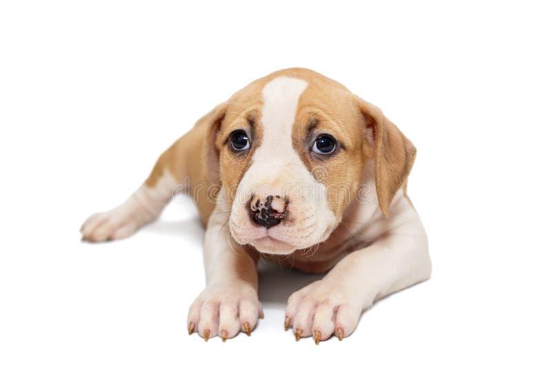 Mały Staffordshire Terrier szczeniak zdjęcia stock