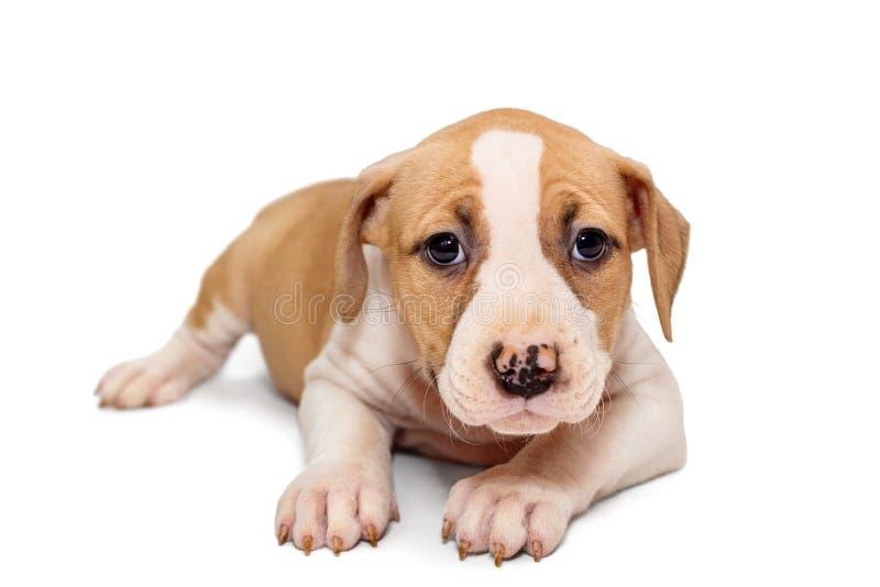 Mały Staffordshire Terrier szczeniak fotografia royalty free