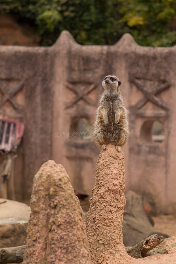 Mały suricat patrzeje dla niebezpieczeństwa obraz stock