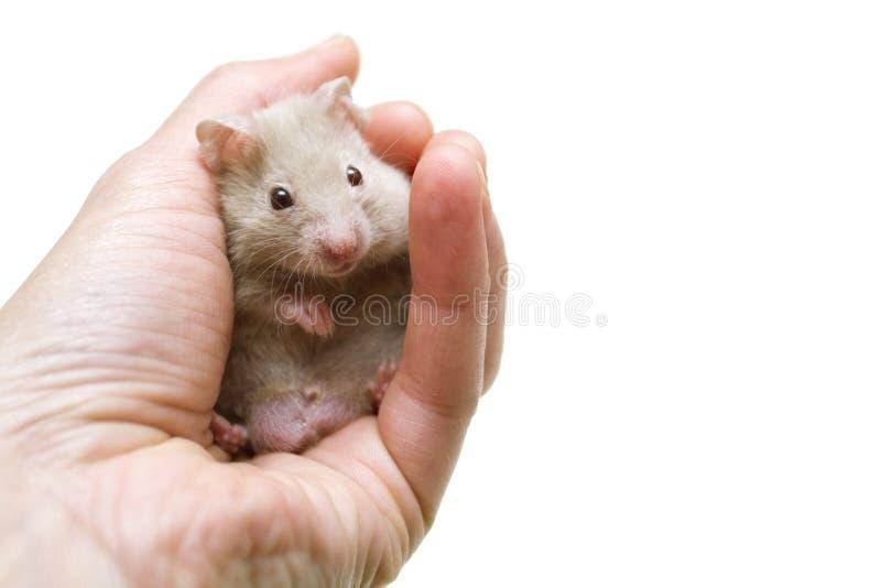 Mały syryjski chomik w ręce odizolowywającej na bielu obraz royalty free