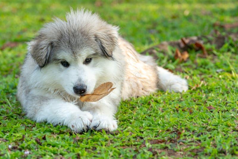 Mały szarego bielu Alaskiego malamute szczeniak z suchym liściem w jego usta lying on the beach na zielonej trawie zdjęcie royalty free