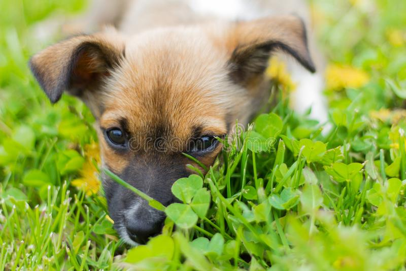 Mały szczeniak kłama w trawie z jego twarzą zakopującą obraz royalty free