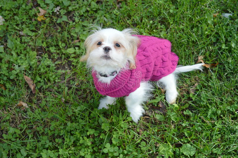 Mały szczeniak w pulowerze zdjęcie royalty free