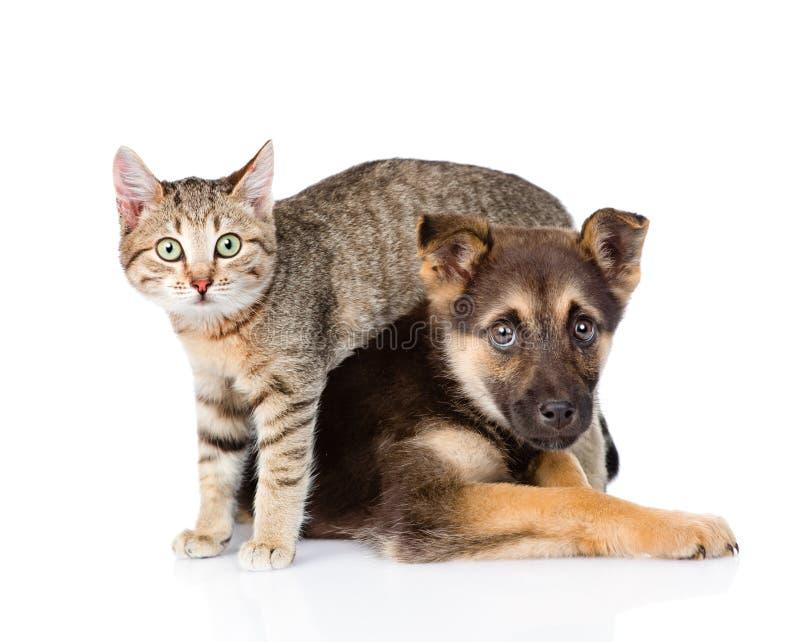 Mały tabby kot i crossbreed pies wpólnie Odizolowywający na bielu fotografia royalty free