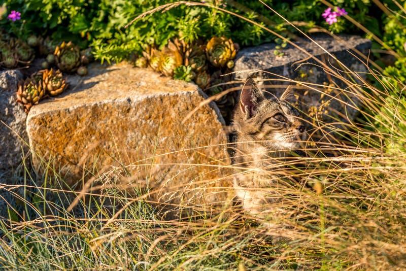 Mały tabby tomcat chujący za suchą trawą obrazy stock