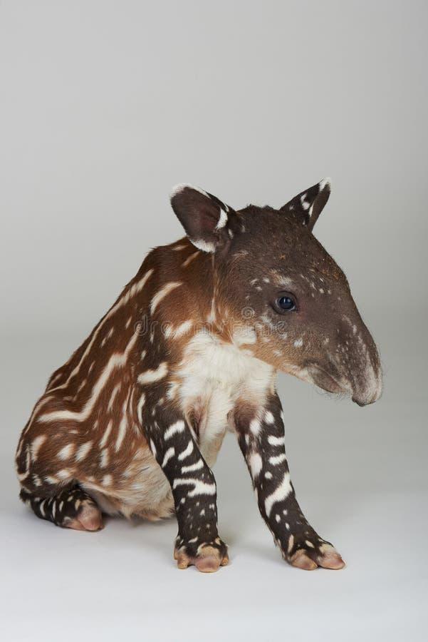 Mały tapir siedzi na białym tle zdjęcie stock