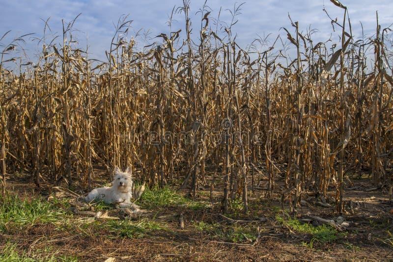 Mały teriera psa lying on the beach obok kukurydzanego pola obraz stock