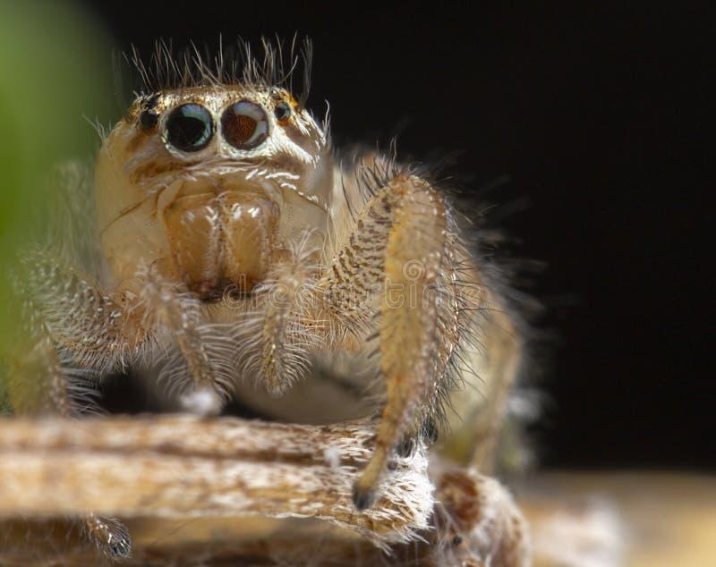 Mały thyene Imperialis pająk pozuje na gałąź fotografia royalty free